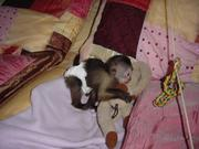 Three Baby Capuchin Monkeys Ready for New Homes