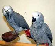 lovely pair of african grey and eggs for sale