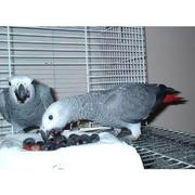 Quiet and Well Tame African Grey Parrots For Sale
