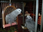 AFRICAN GREY CONGO BIRD,  very cute,  DNA sexed and vet checked