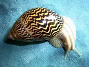 Achatina Varicosa Pet snails and Other Giant Tiger Pet snails for Sale