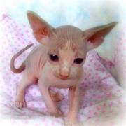 Sphynx Kittens For Sale Now
