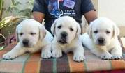 Labrador Puppies For Sale In INDIA @ 9320185151