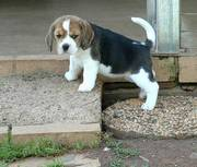 Home Raise male and female beagle puppies