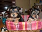 AKC Cute Yorkie Puppies…