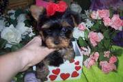 Well raised Teacup Yorkie puppy