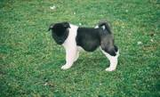 Absolute Cute Looking Akita Puppies For X-Mas