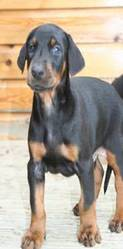doberman pups KC reg Top European bloodlines! ready now