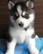 Rehoming Black and White Charming Blue EYES Siberian Huskys