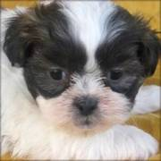 Shih Tzu Puppies for good homes