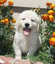 Golden Retriever Puppies for lovely home