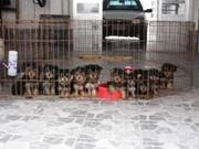 Available Home raise potty train yorkshire terrier puppies