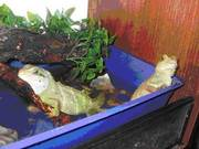 Reptiles Chinese Water Dragons