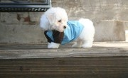 Packie is just as sweet as he can be! He is very playful, Bichon Frise