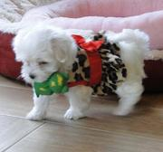 Tiny Tiny Micro Maltese Puppies For Adoption