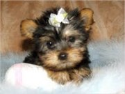 Miniature Yorkshire Terrier Puppy For Re-homing