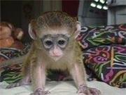 Female and Male Capuchin monkeys for free adoption