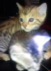 BEAUTIFUL PEDIGREE SILVER/BROWN SPOTTED BENGAL CUBS