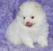 Intelligent Pomeranian puppies for adption