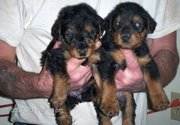 Cute and lovely Airedale Terrier Puppies For Sale.