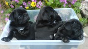 STUNNING  BLACK PUG PUPPIES FOR SALE
