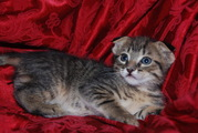 Scottish Fold Manx Cross Kittens For Sale