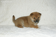 great temperaments  hiba Inu Puppies For Sale