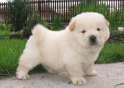 healthy looking chow chow puppies for sale.