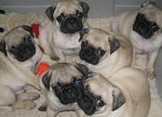 Pugs,  Males and female
