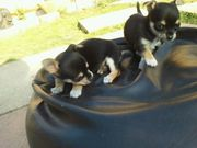 Male and Female T Cup Chihuahua Puppies Available