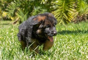 Champion Male  and Female German Shepherd Puppies Searching   For New.