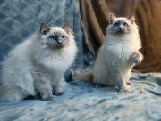 Beautiful Ragdoll Kittens Only 2 Left