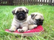 Free Fawn Pug Puppies
