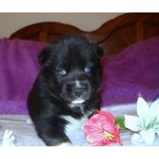 black pupp for home adoption