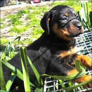 Amazing Rottweiler puppy for adoption.