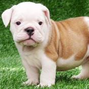 An Adorable English BullDog