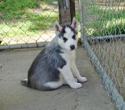 Black And White Siberian Husky Puppies For Sale!!!