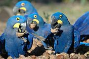 Tamed Blue And Gold Macaw Parrots