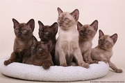 Kittens burmese sale