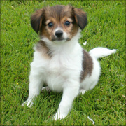 Lovely Papillon puppies ready for home adoption