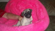 Playful Pug Puppies For Good Home Adoption!!!!