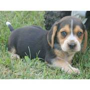 sweet beagle puppy for a good home