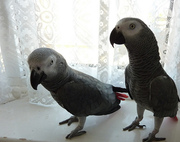 NATURALLY TRAIN AFRICAN GREY PARROTS