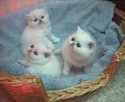 Persian kittens of standards with blue eyes