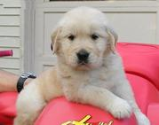 sweet Golden Retriever Puppies available for christm!!!